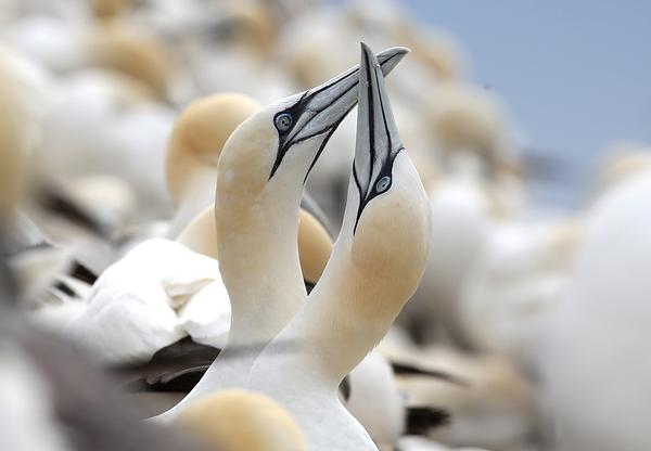 2 Northern gannets crossing beaks