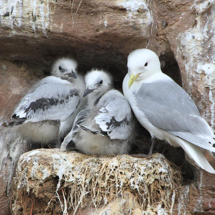 Kittiwake photo