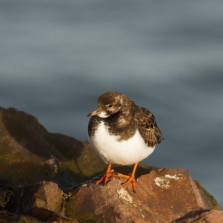 Turnstone photo