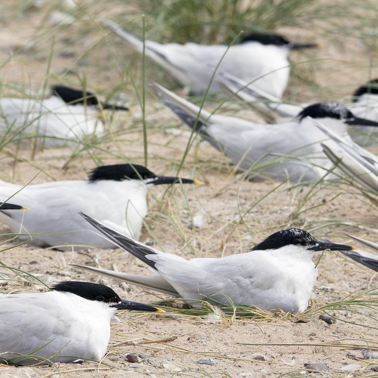 Sandwich tern photo