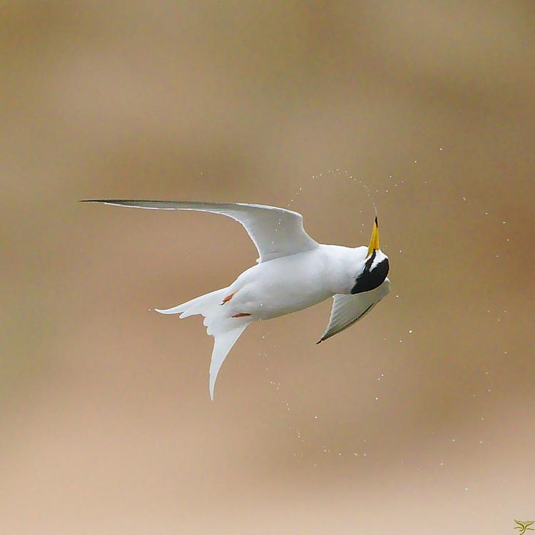 Little tern photo