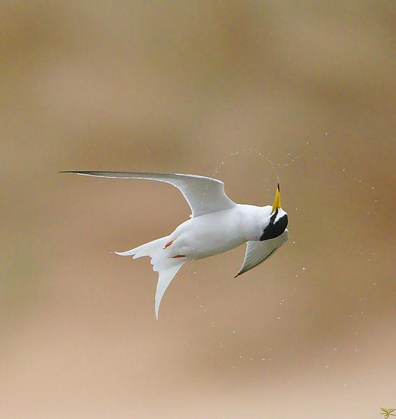 Little tern spinning around mid-flight