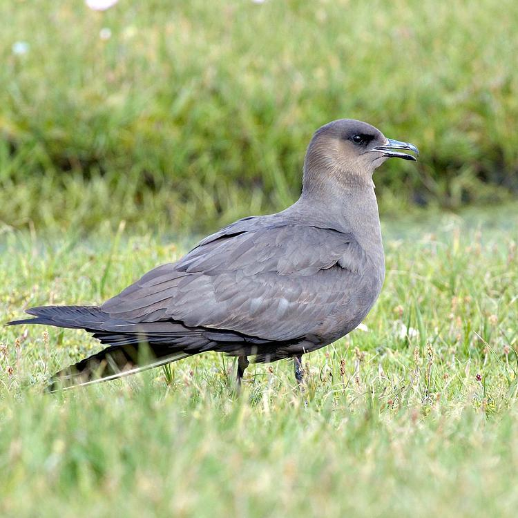 Arctic skua photo
