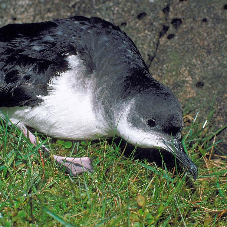 Manx shearwater photo