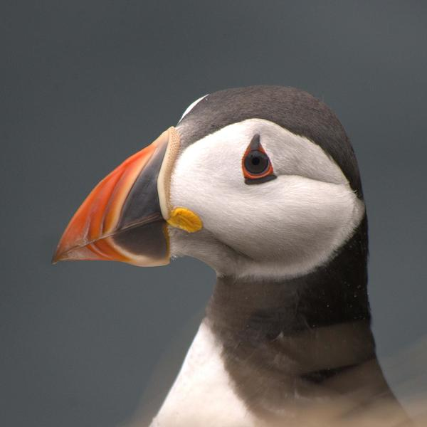 Close up of an Atlantic puffin