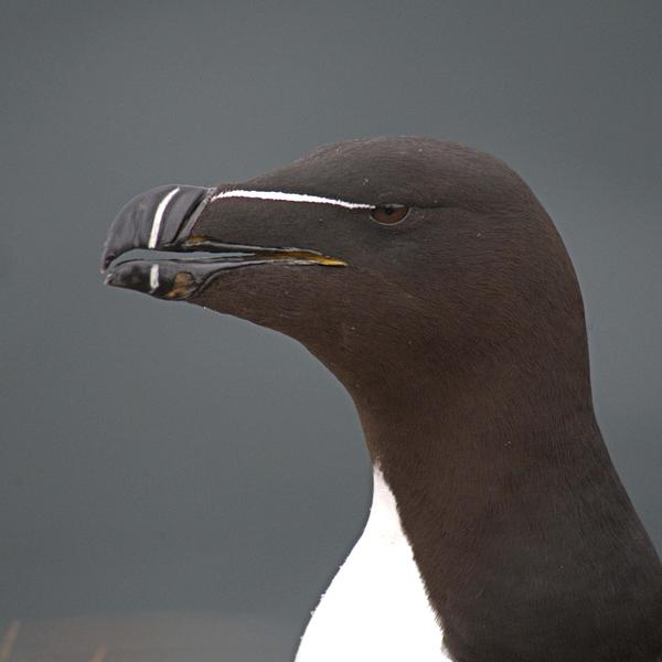 Close up of a razorbill against a blue background