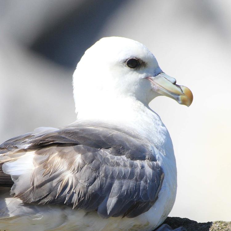 Fulmar photo