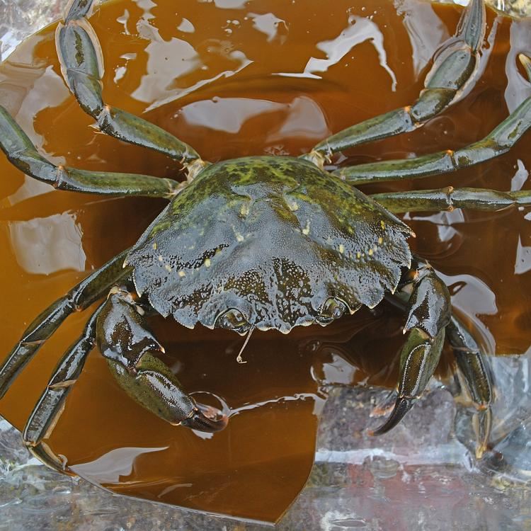 Common shore crab photo