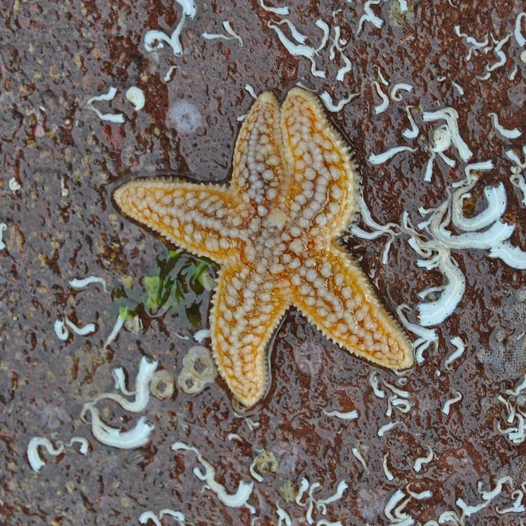 Common starfish photo