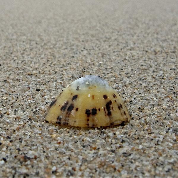 Limpet on the sand