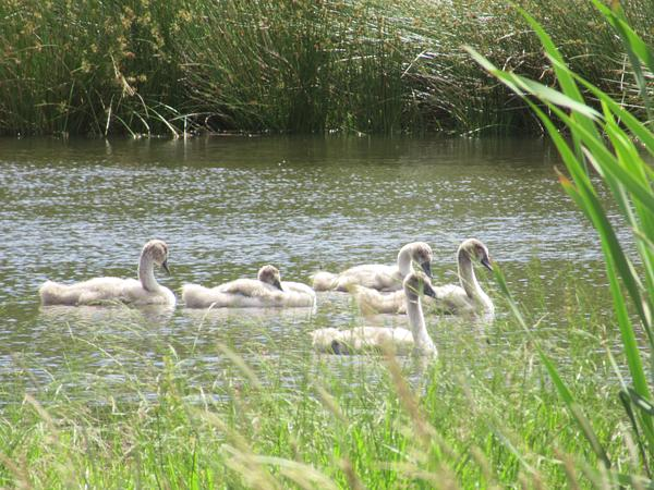 Cygnets before the parents left
