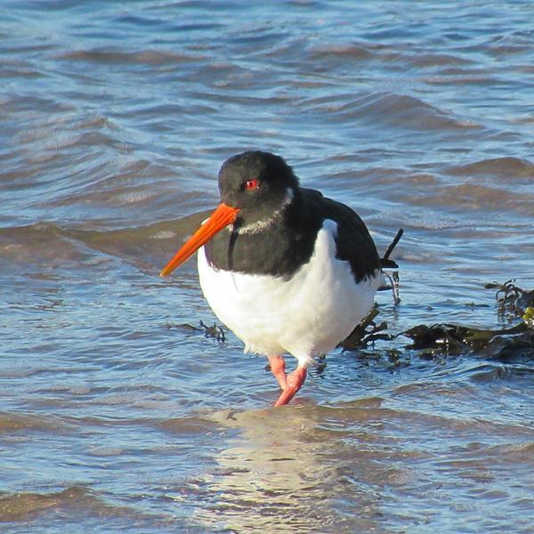Oystercatcher standing in the water