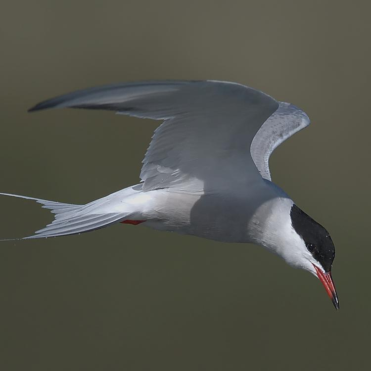 Common tern photo