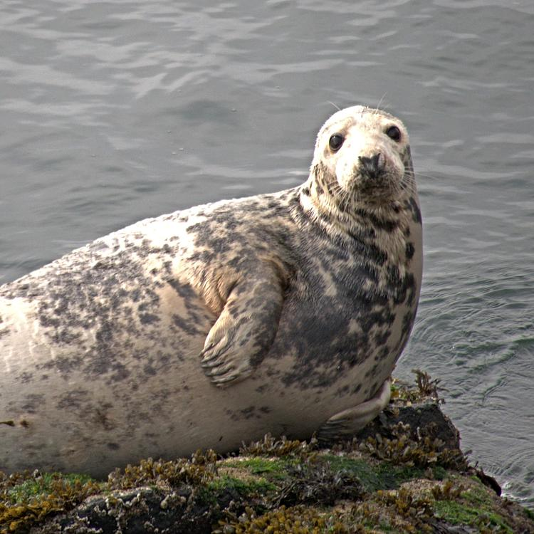 Grey Seal   photo