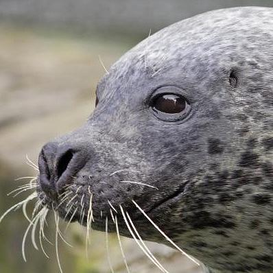 Common Seal    photo